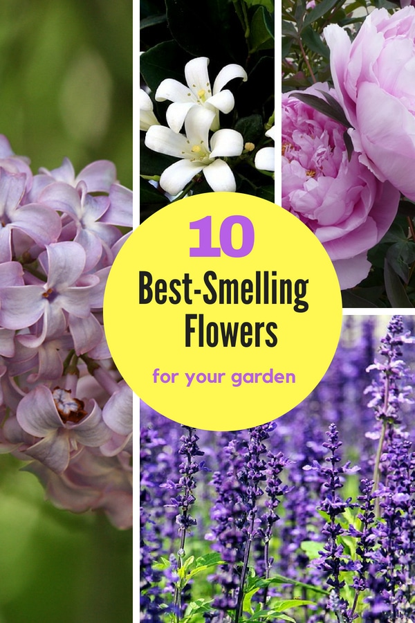These 11 flowers are some of the best-smelling plants that you can grow in your garden. Learn which ones they are so you can add them to your yard! #fragrantgarden #perennials #gardenideas