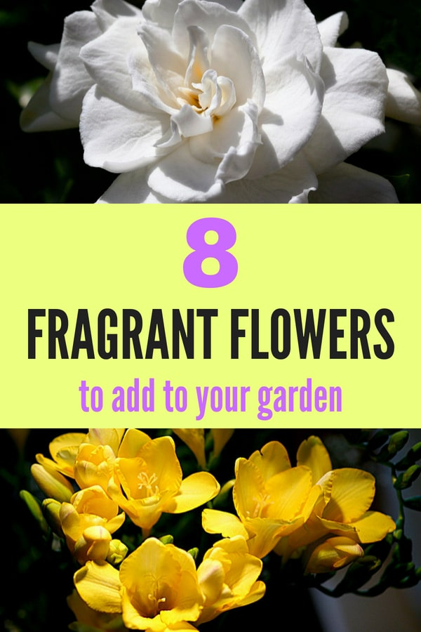 Learn which flowers are the most fragrant so that you can grow a fragrant garden! #gardening #gardeningideas #gardeningtips #garden #gardeningforbeginners #perennials #lowmaintenanceperennials