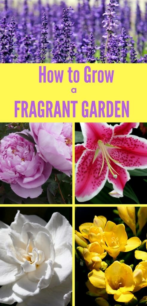 Learn how to grow a fragrant garden! Plant these flowers in your garden if you want your home filled with floral fragrance! #gardeningideas #perennials #lowmaintenanceperennials #gardeningforbeginners #fragrantflowers
