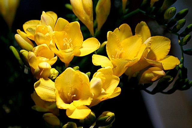 Freesias are a fragrant flower - learn how to add fragrance to your garden by learning how to grow freesias!