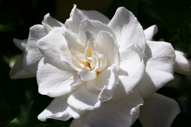 Learn how to grow gardenias to your fragrant garden!