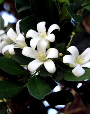 Grow jasmine for a fragrant garden! Learn how to grow jasmine this year with these gardening tips.