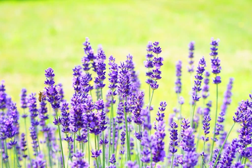 Lavender is a mosquito-repelling plant!
