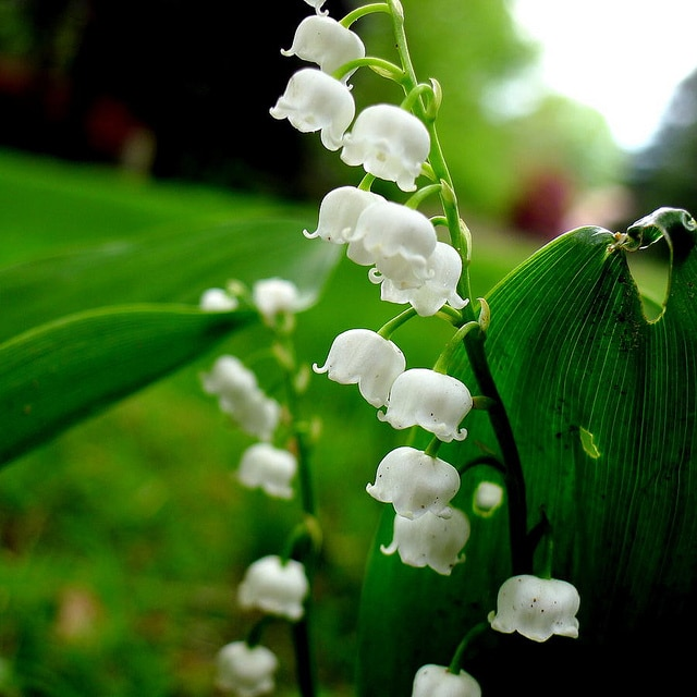 Lily of the Valley is low-maintenance and a fragrant flower. Perfect for a fragrant garden!