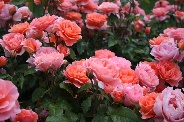 Learn how to grow roses so that you can grow a fragrant garden!