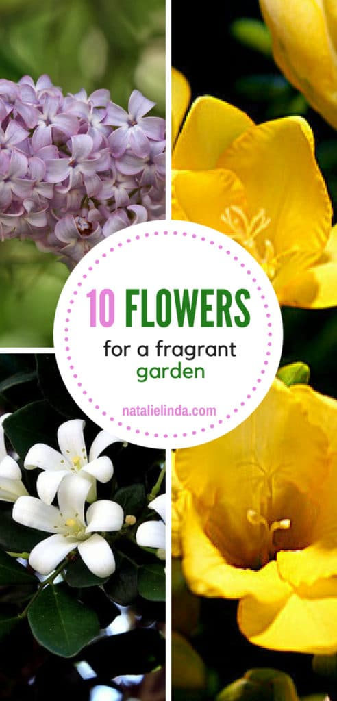 If you want a fragrant garden, grow some of these flowers in your yard!