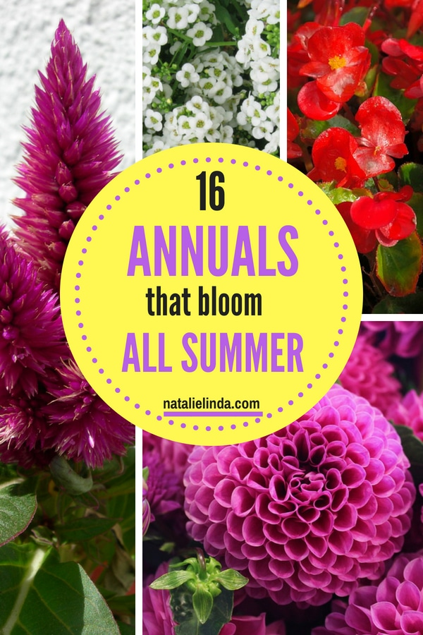 These 16 Annuals are perfect for adding blooms in your garden from June to frost! Most are low-maintenance and easy to care for once you know what they need to thrive! #annuals #Summergarden #gardenideas