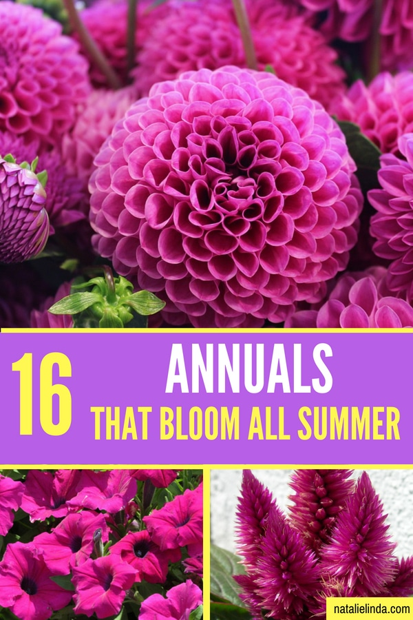 Check out these 16 gorgeous annuals if you're looking for flowers that bloom ALL Summer long and even into Fall!