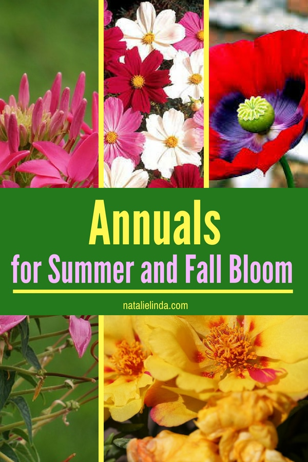 Try planting these annuals in your garden if you crave beautiful blooms in your garden all Summer long and though Fall! #gardenideas