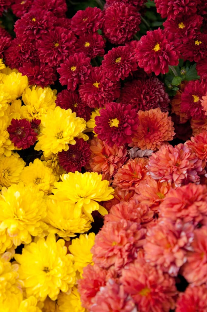Chrysanthemums are beautiful Fall Perennials - check out this list!
