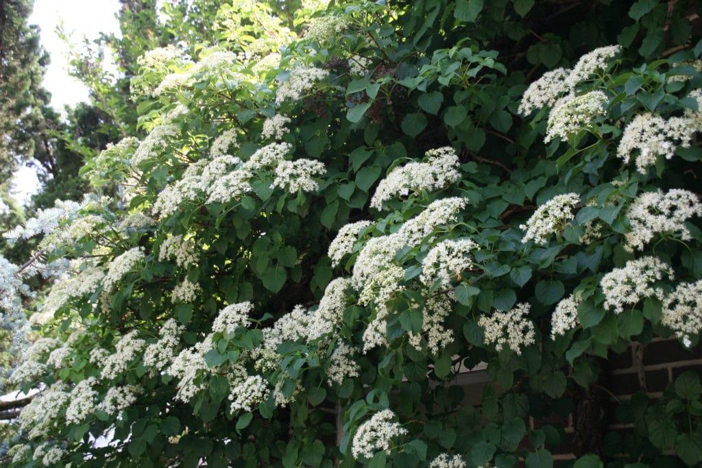 Climbing vines for your garden