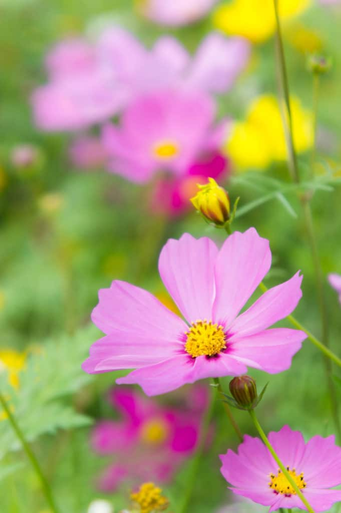 Cosmos are a lovely annual that bloom all summer!