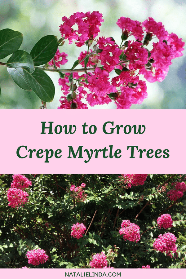 Crepe Myrtle trees are very low-maintenance and are even drought-resistant! Learn how to plant and grow crepe myrtle trees in your garden this year!