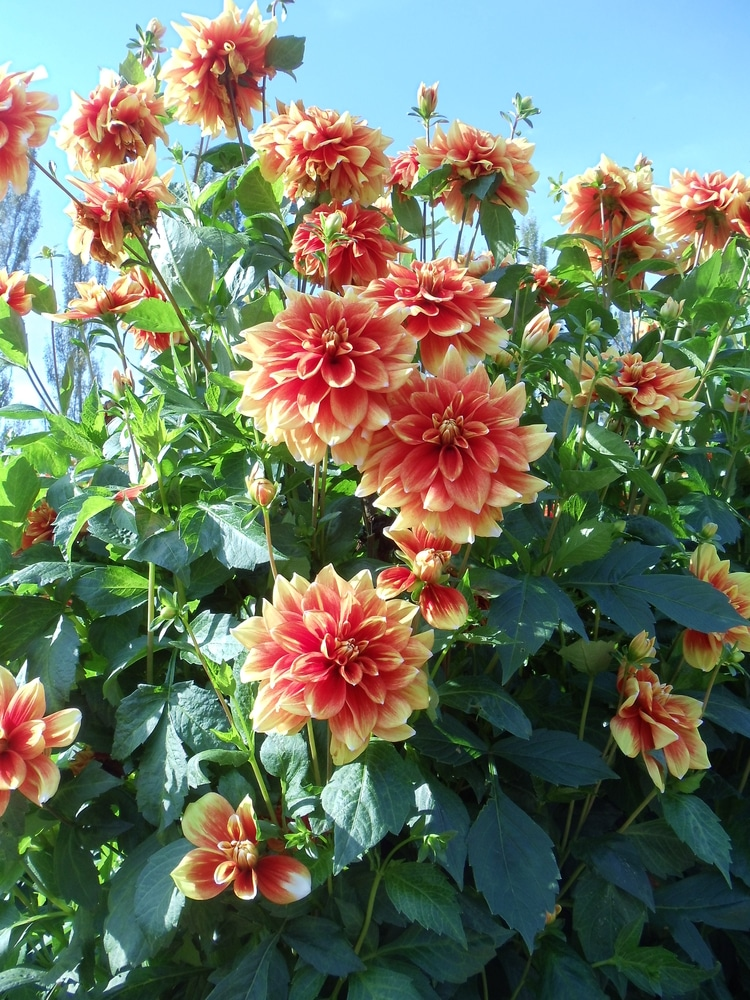 Dahlias are summer-blooming annuals!