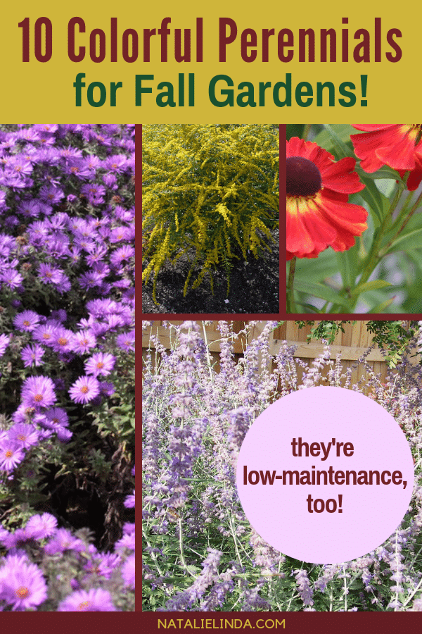 These low-maintenance perennials will look beautiful in your Fall garden! Gardens need love in the Fall too, and this Fall perennials will do the trick!