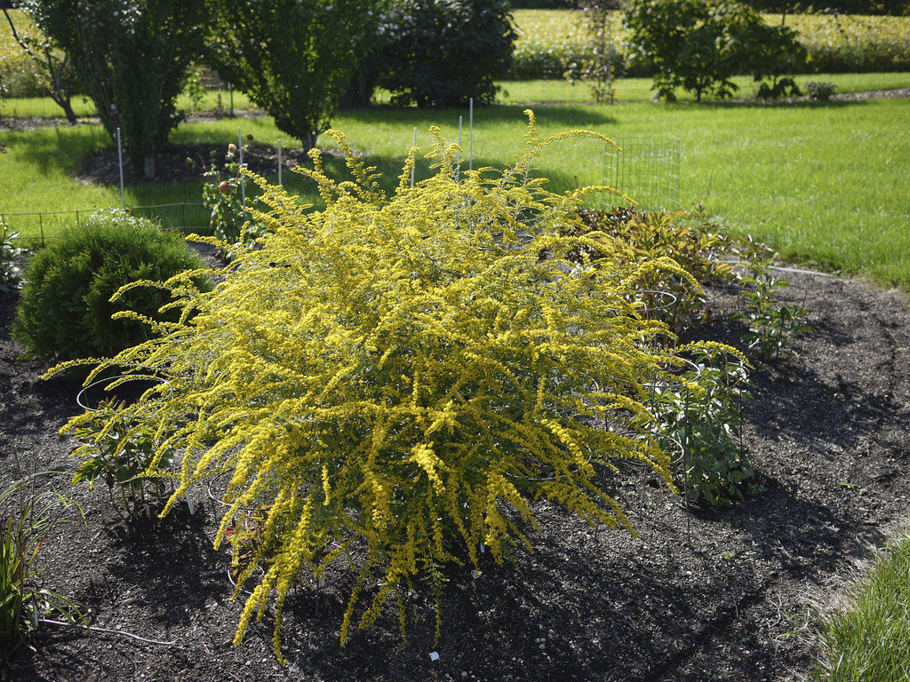 Fireworks Goldenrod Perennials that Blooms in the Fall