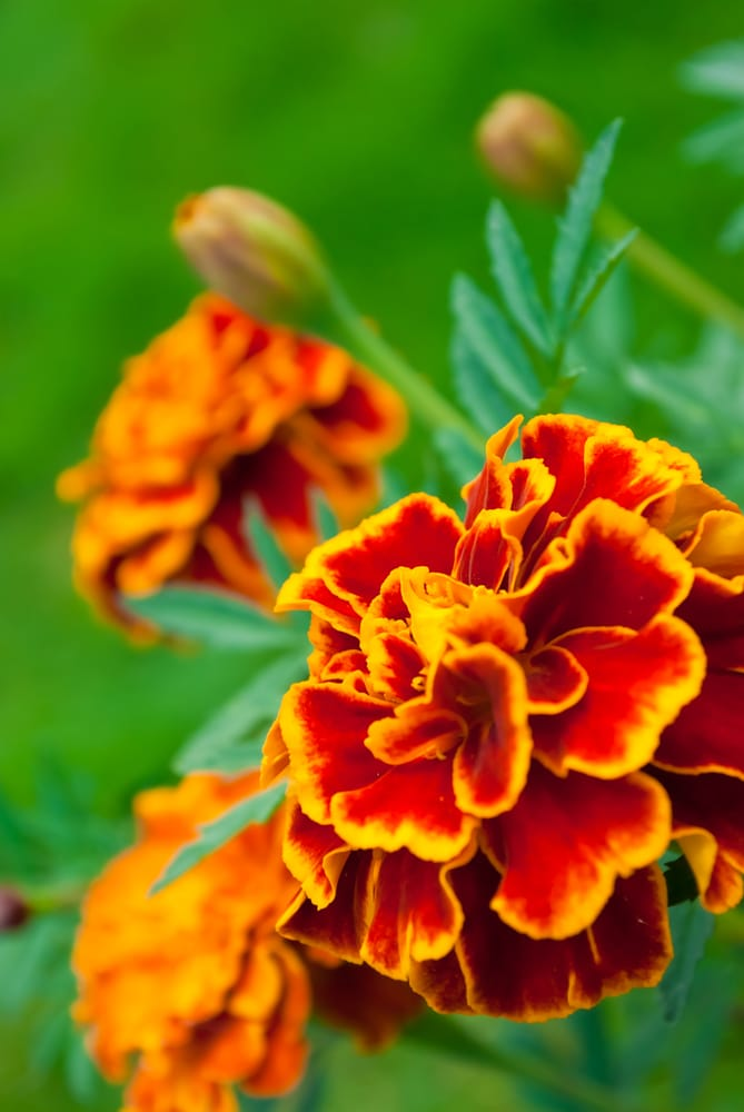 Marigolds make beautiful and long-blooming summer annuals!
