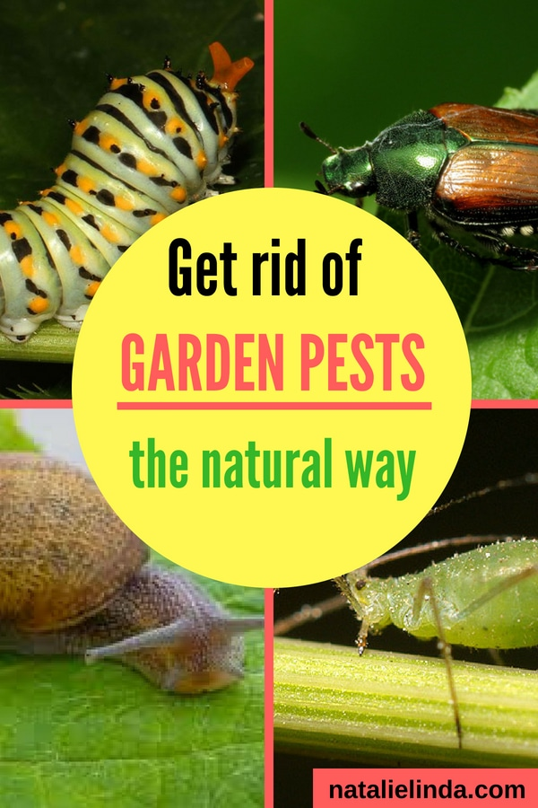 Learn the best natural methods of getting rid of the garden pests that are eating your plants! #gardening #gardenpests