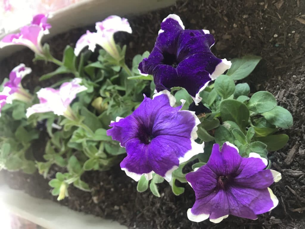 Petunias are beautiful annual plants that can bloom all Summer long!