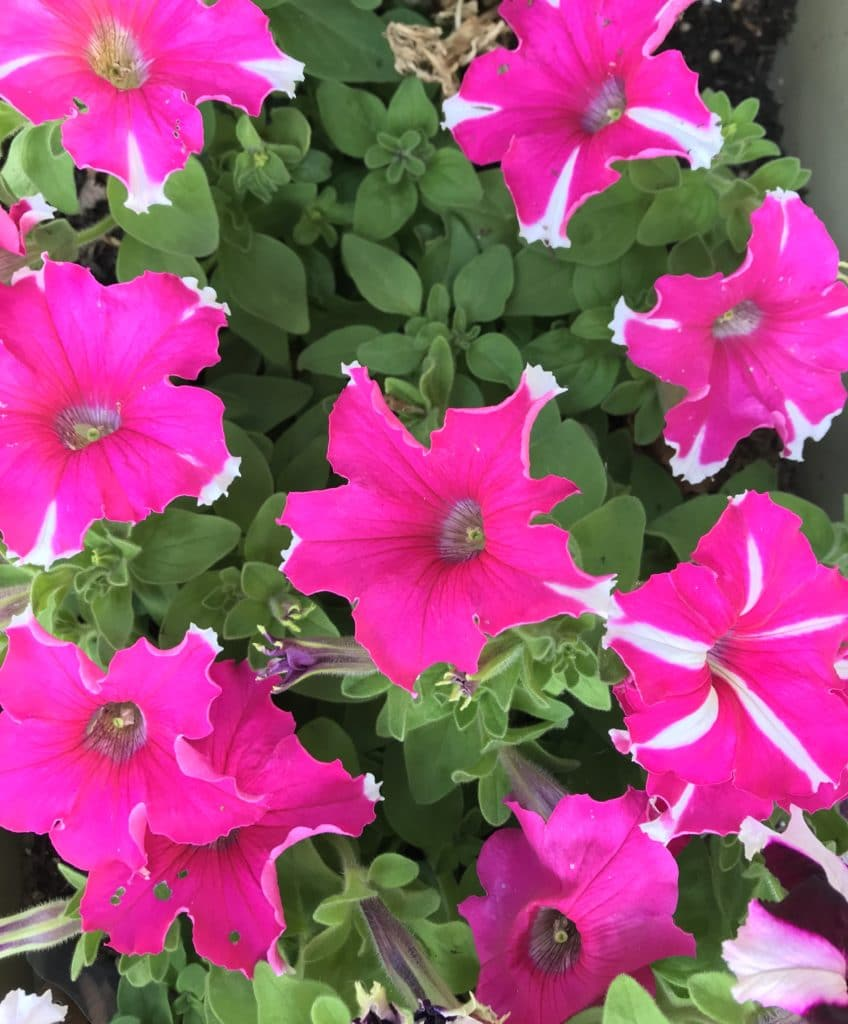 Summer blooming annuas