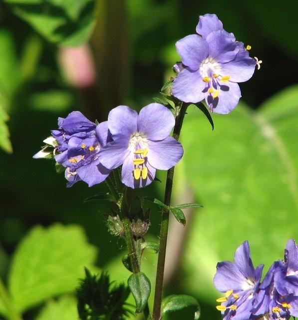 Flowering vines for your garden