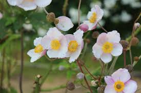 Japanese Anenome Fall Blooms