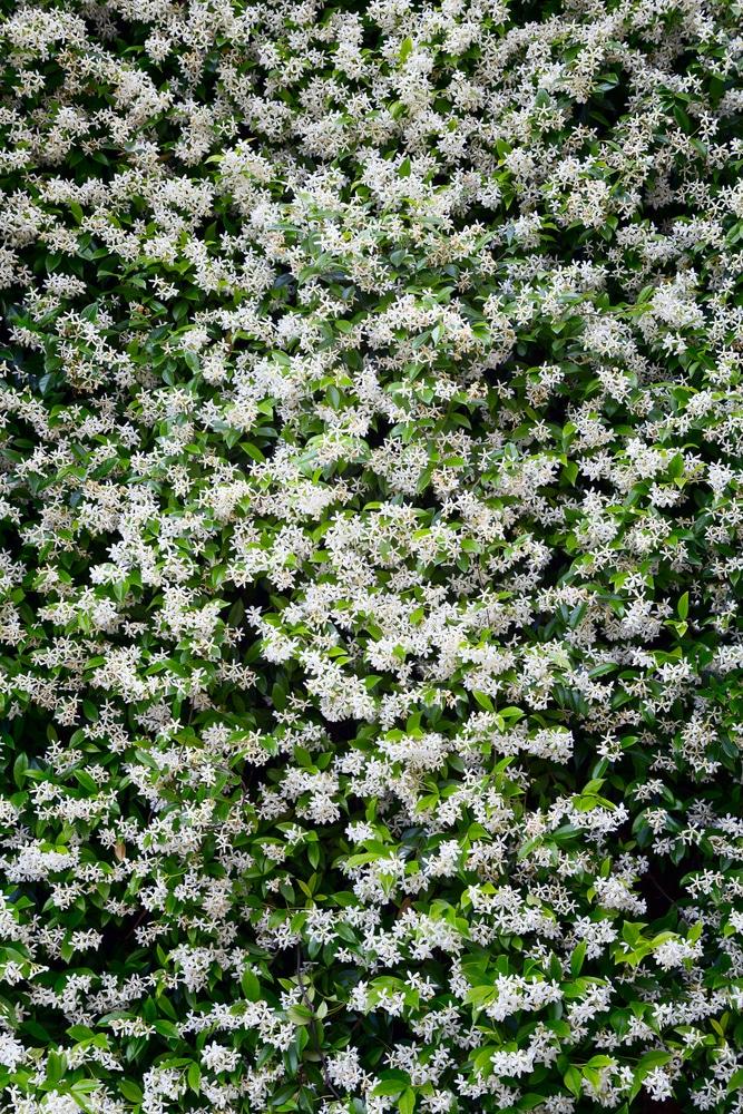 Beautiful flowering vines for a lovely garden!
