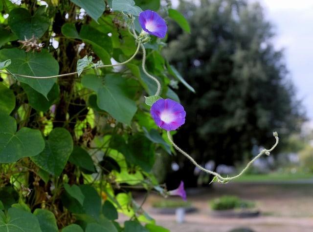 Moonflower vine for a beautiful garden!