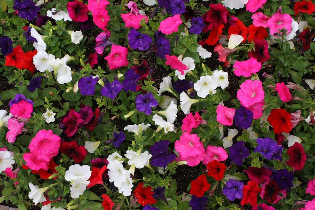Grow petunias in your garden for Summer bloom!