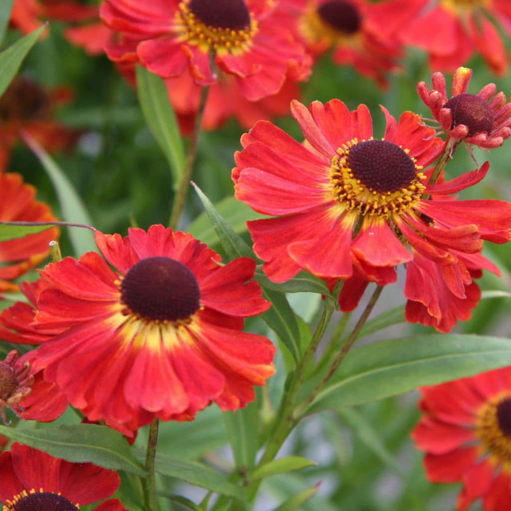 Red Jewel Helenium is an perennial that blooms in the Fall!