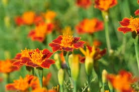 Plant marigolds if you're looking for mosquito-repellent plants!