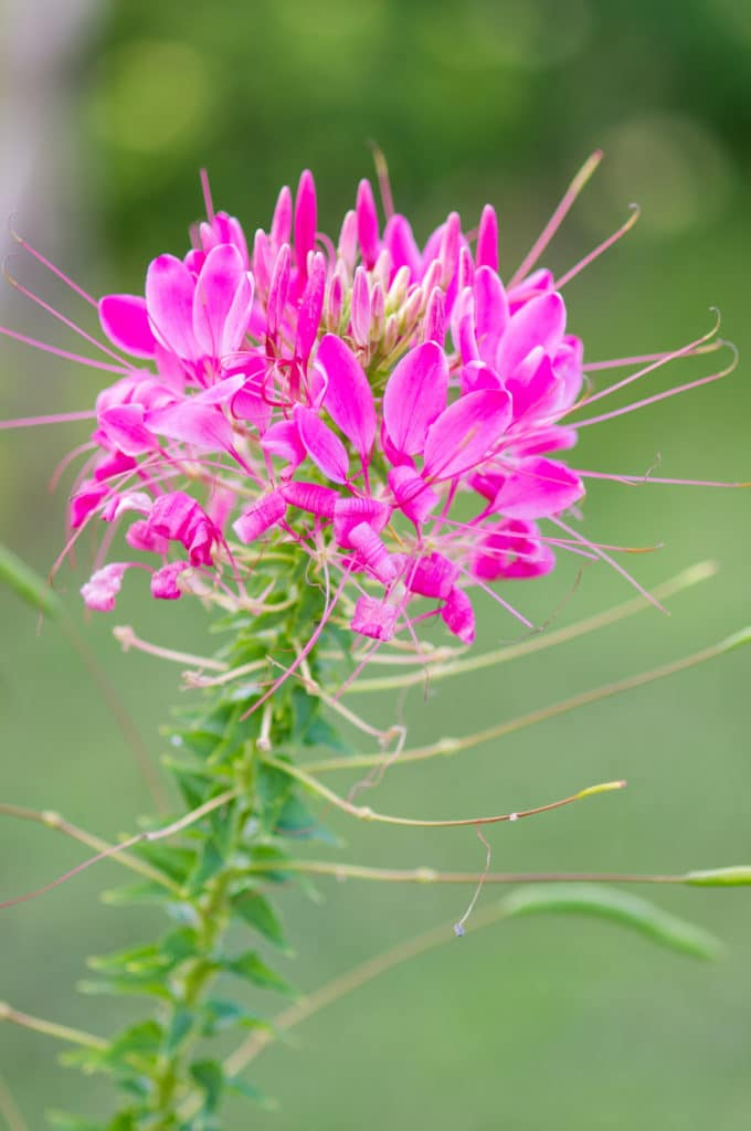 The Spider FLower makes a lovely summer annual!