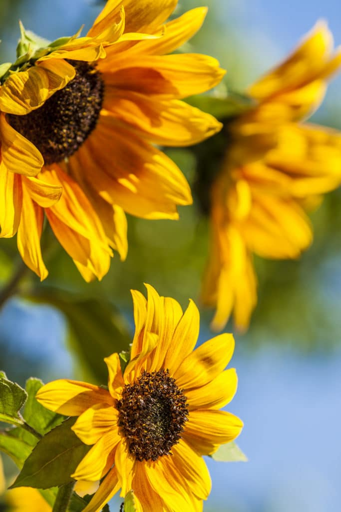 Sunflowers are gorgeous summer-blooming annuals!