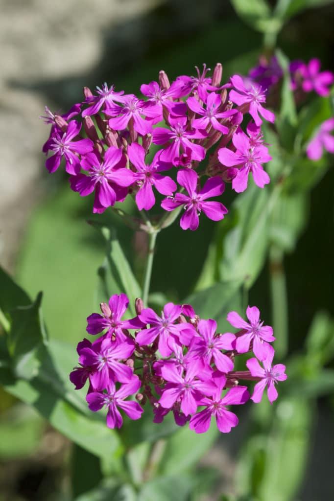 Sumerbena verbena summer annuals