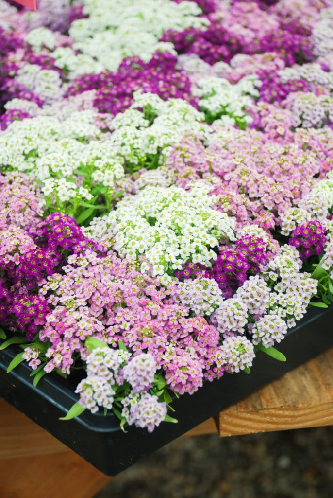 Sweet Alyssum makes a beautiful annual that blooms in the summer!