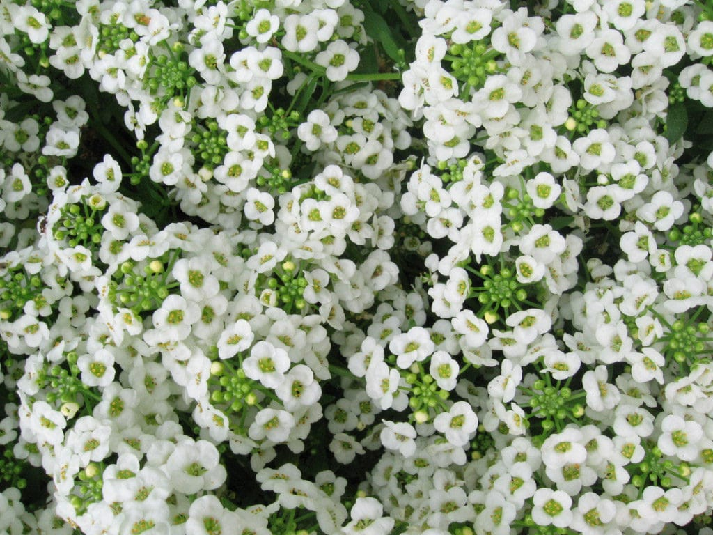 Sweet alyssum is an annual that can bloom all Summer long!