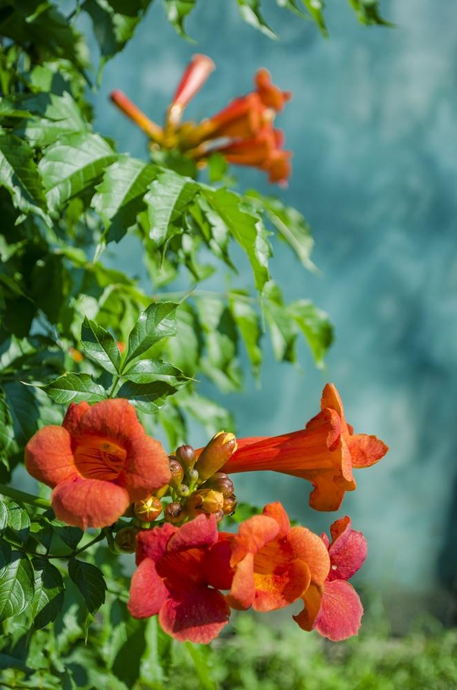 Flowering climbing vines