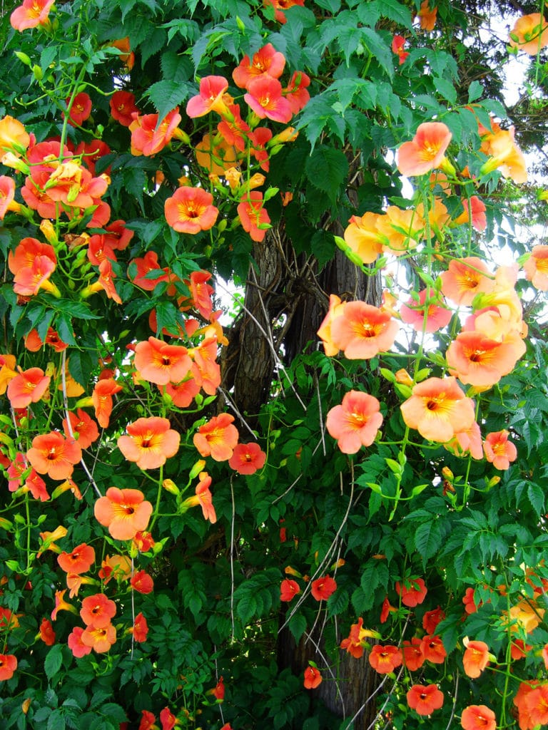Trumpet vine for a garden.