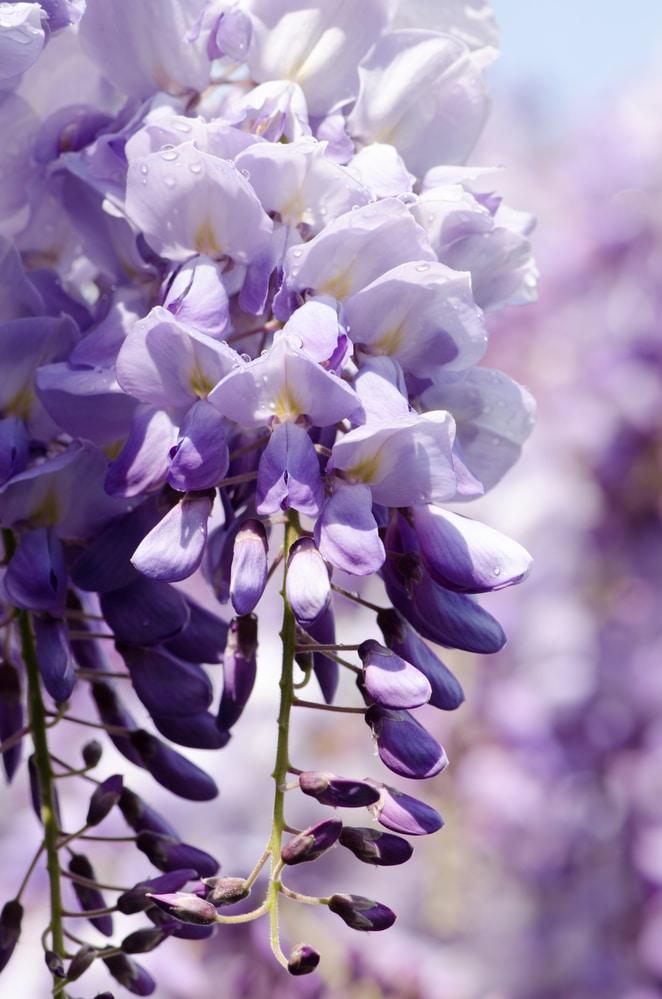 Beautiful flowering vines