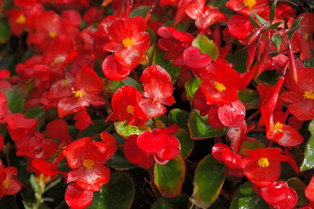 Grow begonias in your garden!