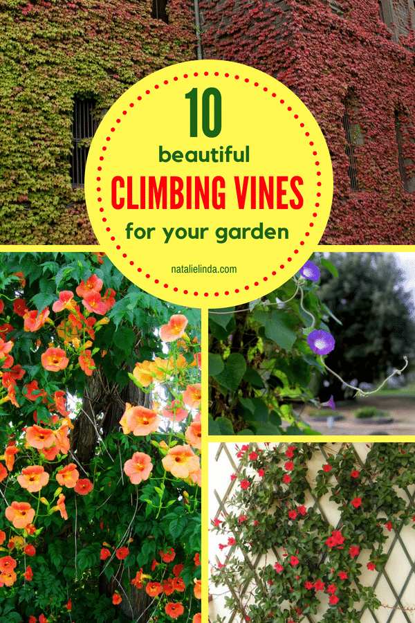 Grow one of these 10 climbing vines if you're looking to beautify your yard! Grow them on a trellis or fence! #gardenideas