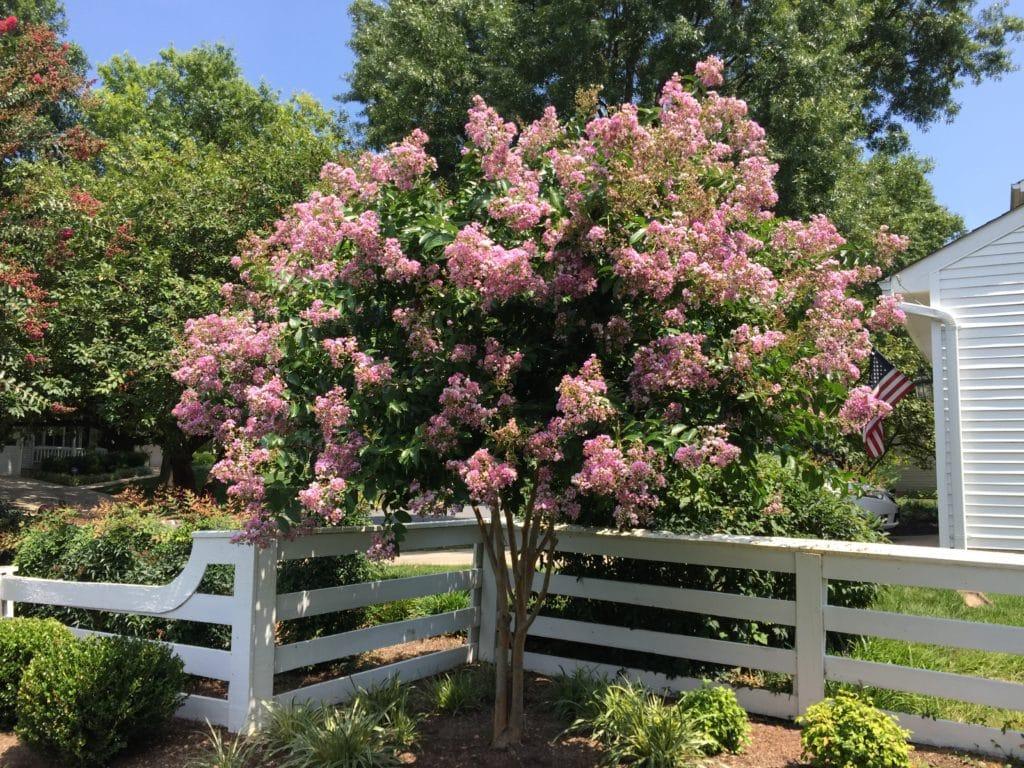 Grow Crepe Myrtle Trees