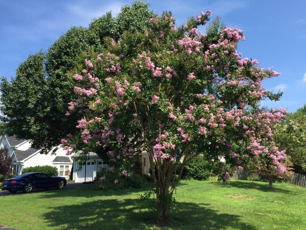 crepe myrtle pink bush