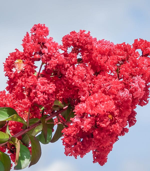 How to Grow Crepe Myrtle Trees