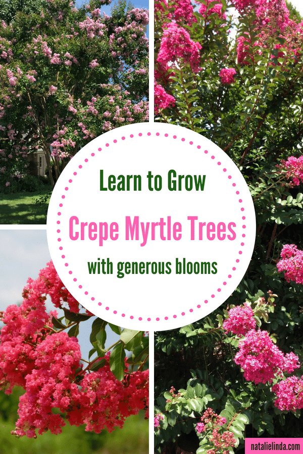 Learn to grow crepe myrtle trees so they can produce beautiful blooms all throughout Summer!
