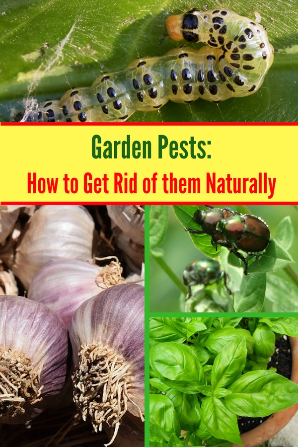 Try these natural solutions for getting rid of common garden pests like beetles, aphids, and slugs! If you grow an organic garden, then you need to try this!