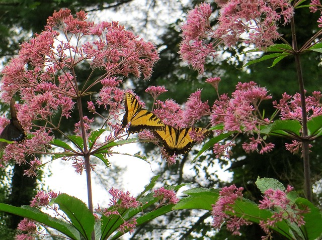 Joe Pye Weed Perennials that bloom in the Fall!