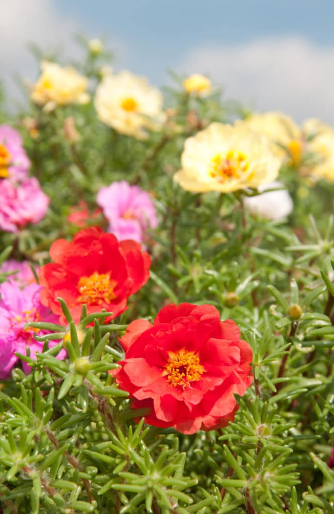 Moss Rose is a beautiful summer-blooming annual!