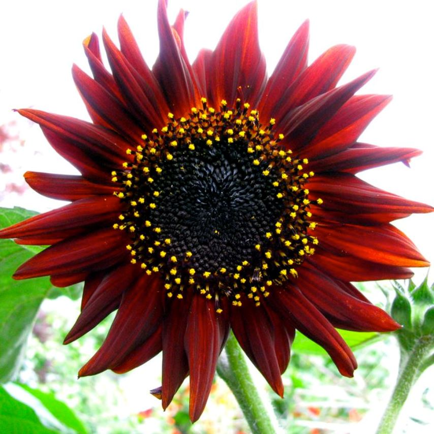 Prado Red Shades Sunflower