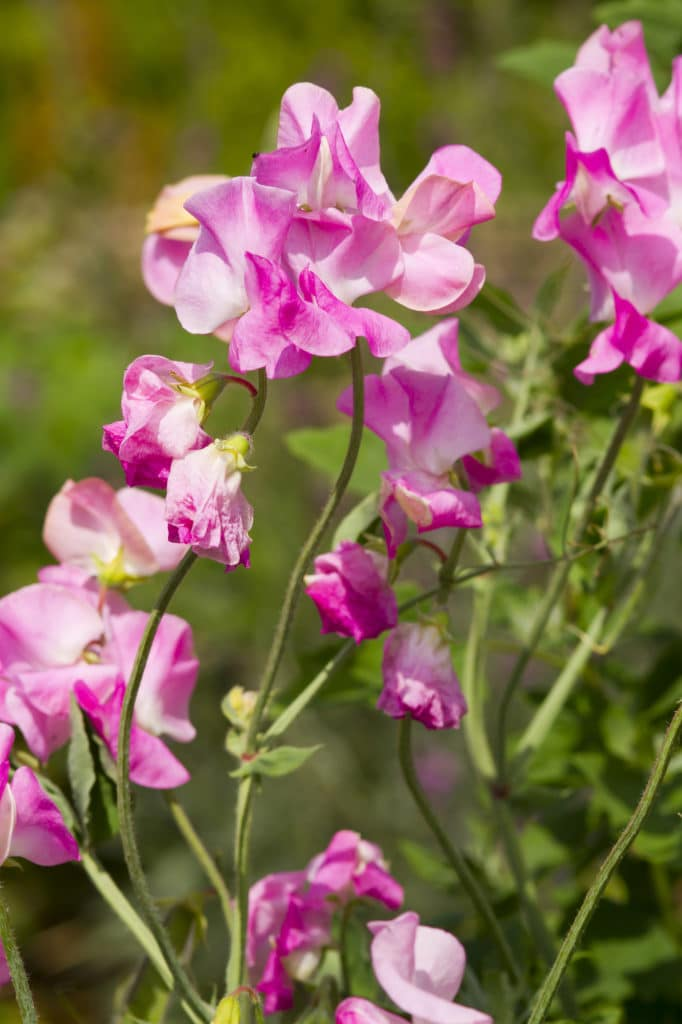 Sweet pea flower makes a beautiful summer-blooming annual!